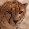 Juvenile cheetah.  Cheetah Conservation Foundation, Namibia.