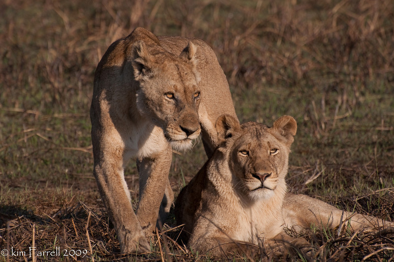 On the prowl.  Lions.  Kafue National Park, Zambia.