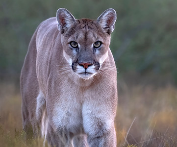 Sage , the Mountain Lion