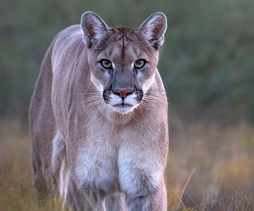 Sage , the Mountain Lion