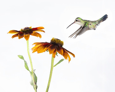 Broad-billed Hummer and flowers