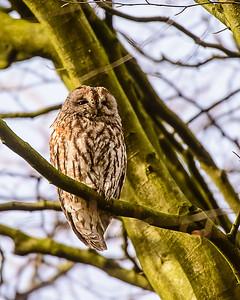 Tawny Owl 1604
