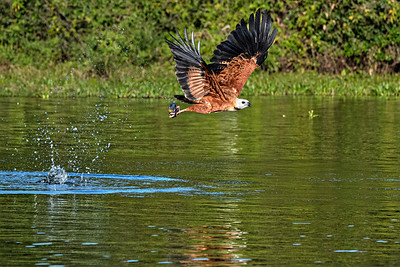 Black-collared Hawk and fish