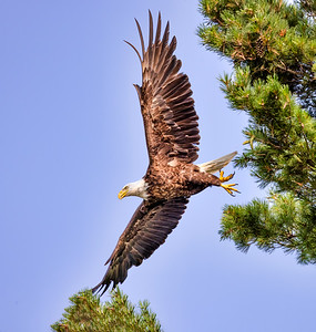 Bald Eagle of Big Trout Lake