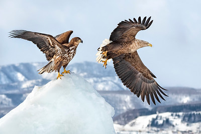 White Tail Eagles