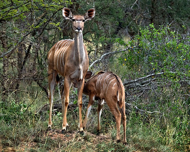 Female Greater Kudu and young