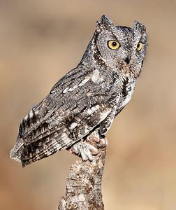 Western Screech Owl posing  2