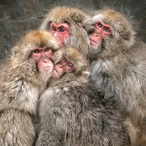 Four Japanese Macaque