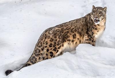 Snow Leopard posing 2