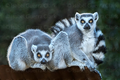 A pair of Ringtail Lemurs