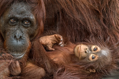 Mother and Ape