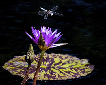 Dragonfly over Lily