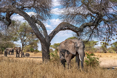 Elephants of Tanzania