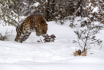Amur Leopard  in the chase