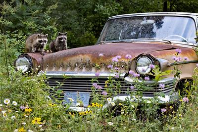 Racoon Car