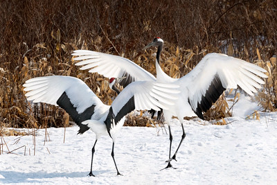 Red-Crowned Crane's courtship dance