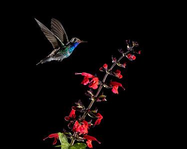 Magnificent Himmingbird