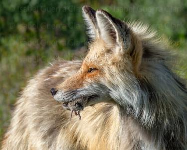 Cross Fox of the Tetons