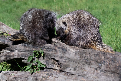 porcupine pair