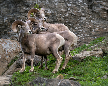 Bighorn sheep of Glacier NP