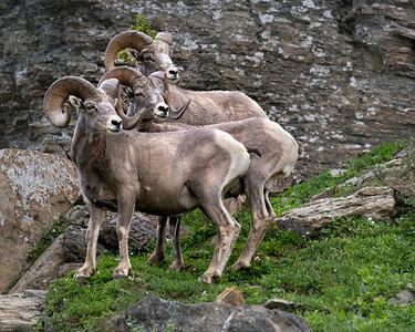 Bighorn sheep of Glacier NP
