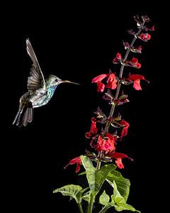 Magnificent Hummingbird in Low Key
