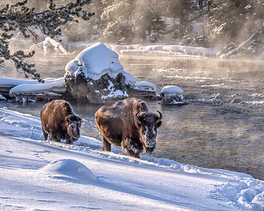 Buffalo pair in Yellowstone