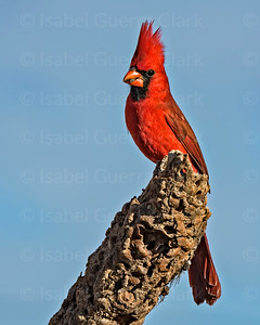 Arizona Cardinal