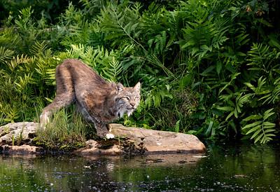 Canada Lynx Prowling