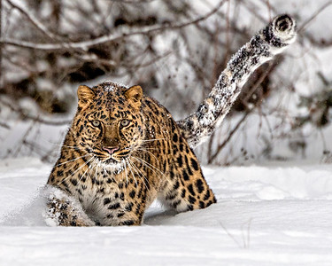 Amur leopard on the snow