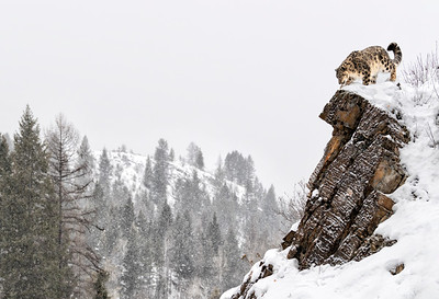 Kingdom of the Snow Leopard