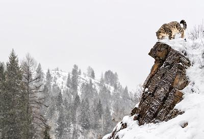 Kingdom of the Snow Leopard
