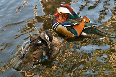 Mr. and Mrs Mandarin duck
