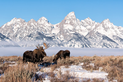Two moose of the Tetons