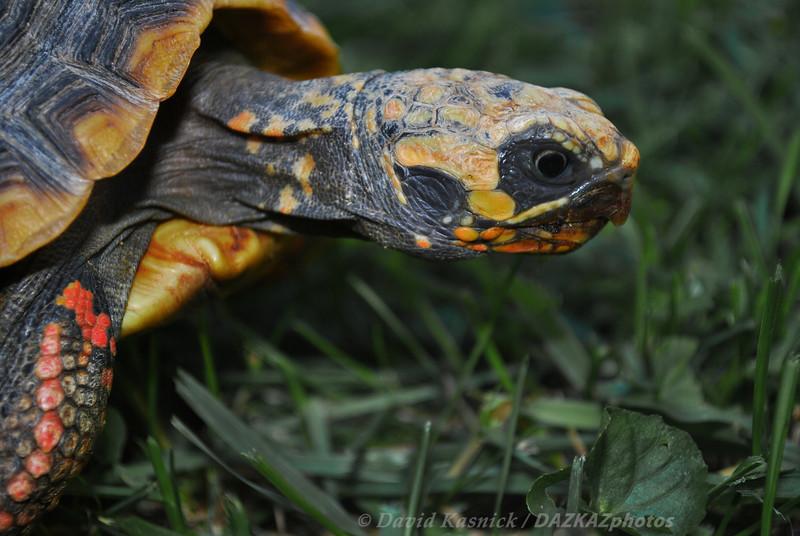 Red Foot Tortoise 2