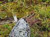 Arctic Weasel - Arctic Circle, AK