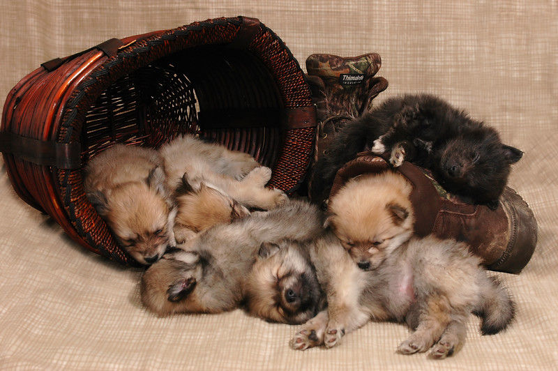 6 pom puppies down... now where did #7 go?