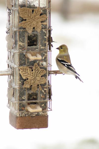 American Goldfinch ~ Carduelis tristis