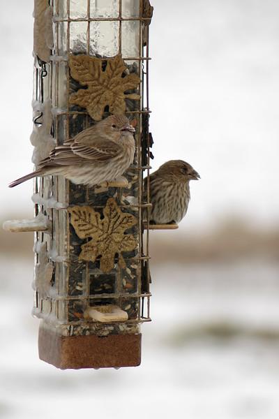 House Finch ~ Carpodacus mexicanus