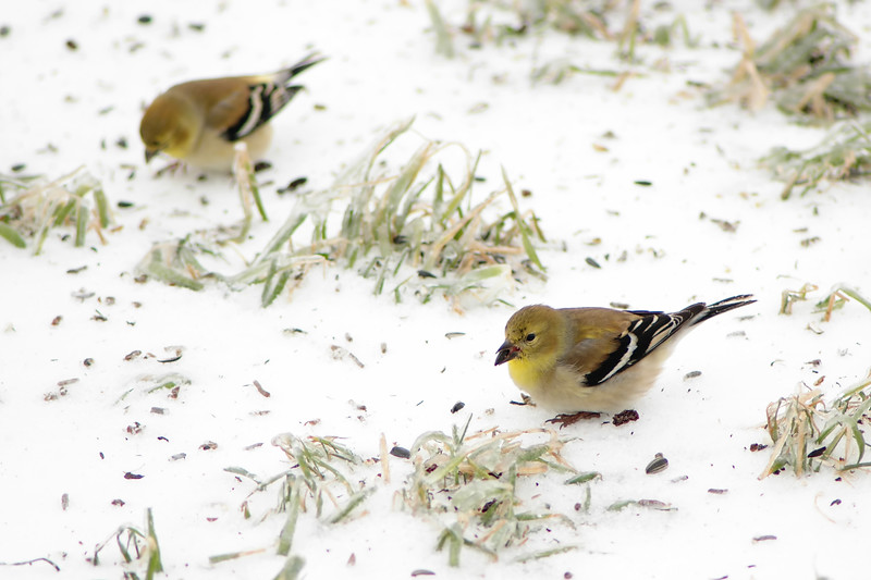 American Goldfinch ~ Carduelis tristis