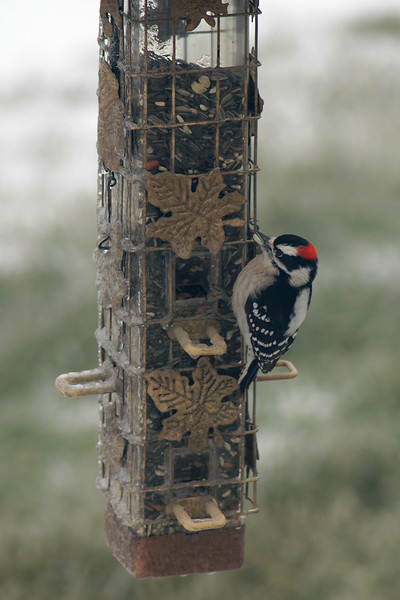 Downy Woodpecker ~ Picoides pubescens
