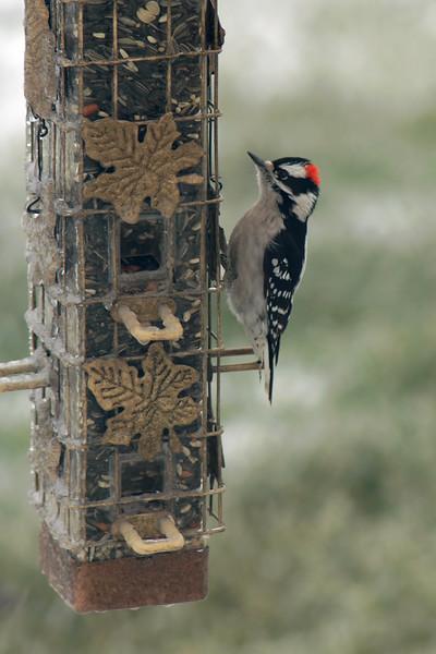 Downy Woodpecker ~ Picoides pubescens