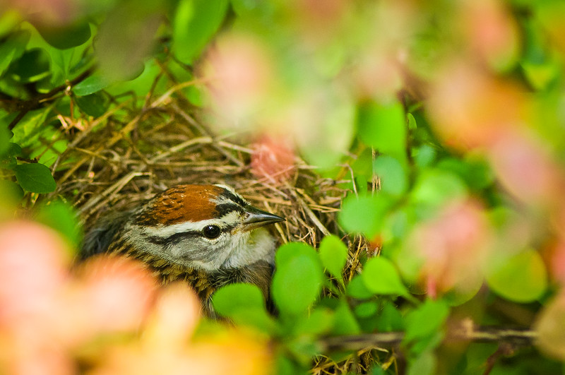 Nesting Wren Sitting on 4-5 eggs, Co-Bear; baby; bird; bird nest; nest; new life; photography; wild life; wren