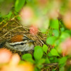 Nesting Wren