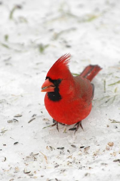 Northern Cardinal ~ Cardinalis cardinalis