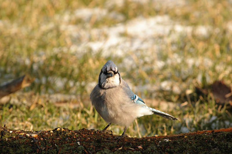 My Attitude? What About It?<br /> Blue Jay - Cyanocitta cristata