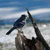 Oh What A Beautiful Morning, Jay, Jay!<br /> Blue Jay - Cyanocitta cristata