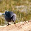 Where'd all the seed go?<br /> Blue Jay - Cyanocitta cristata