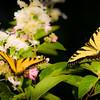 Double Butterflys