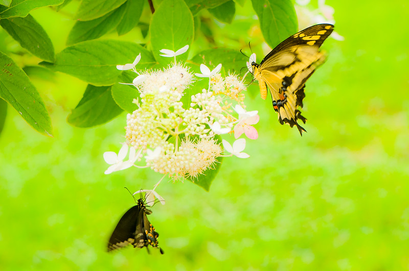 Butterflys After Nectar